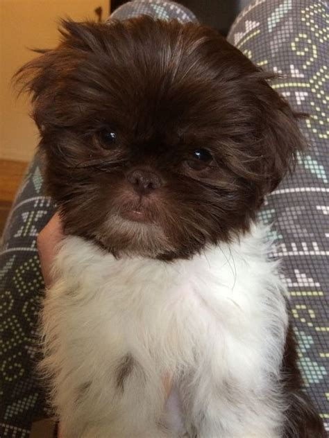 liver and white shih tzu puppy liver white shih tzu 9 week puppy wookie warm fuzzies