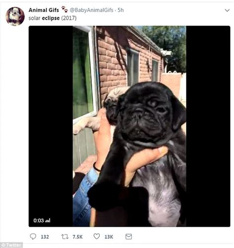pug eclipse erupts with solar eclipse memes daily mail