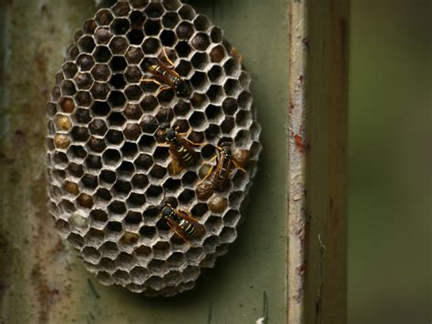 What Of Bees Make Paper Nests - paper wasp in auburn ca gold miner pest