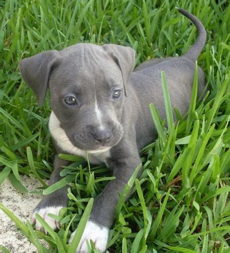 grey pitbull puppy with blue best 10 pitbull terrier ideas on american pitbull pitbull terrier