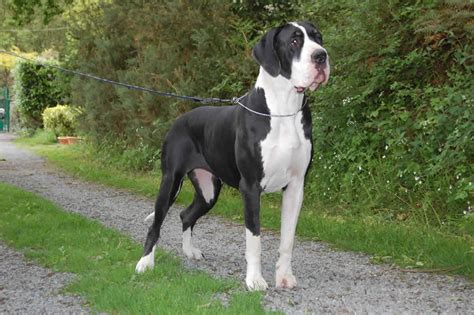 great dane puppies michigan great dane puppies and dogs breeds picture