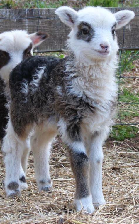 miniature sheep paradise valley farm
