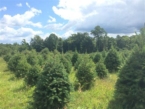 awesome picture of apple hill christmas tree perfect