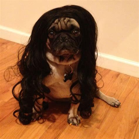 pug with wig pug in a wig pug