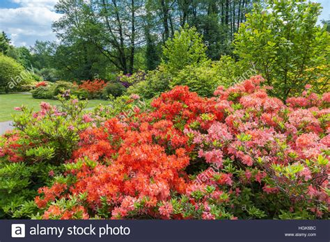 Garten Im Frühling by Rhododendron B 252 Sche Im Fr 252 Hling Botanischer Garten Riga