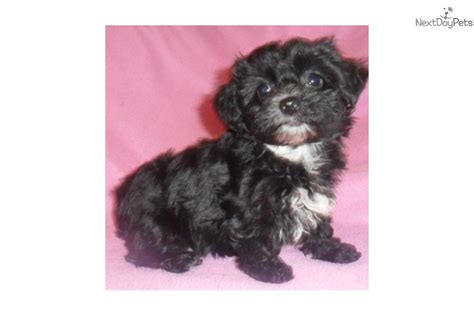 yorkie poo puppies for sale in bc yorkie poo puppies for sale in ohio earn in brisbane