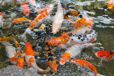 free photo koi fish pond koi fish water free image on pixabay 1081787