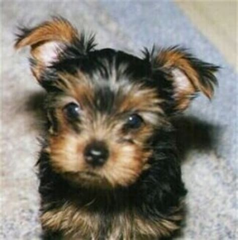 pictures of 6 week yorkie puppies terrier breed information and pictures yorkie
