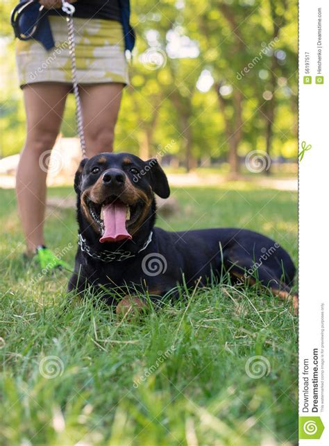 rottweiler walking rottweiler are walking in park stock photo image 56197517
