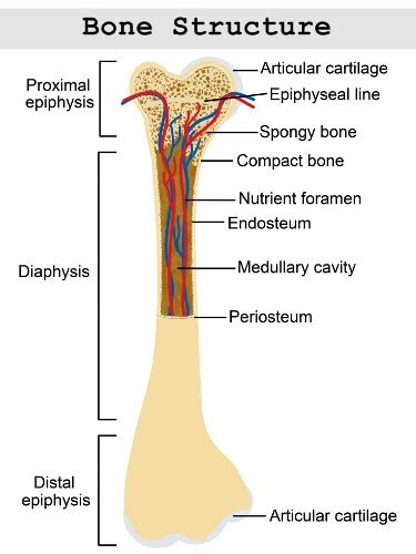 labeled bone diagram structure and function of the haversian system explained