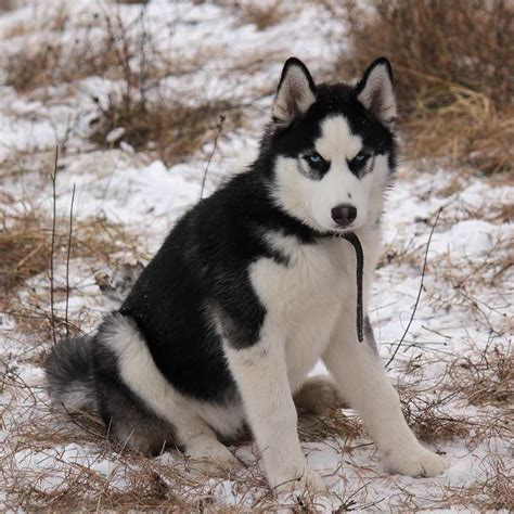snow dogs white fluffy puppy a place to dogs breeds picture