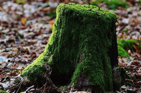 tree stump tree stump moss wood 183 free photo on pixabay