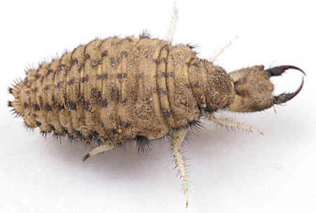 doodlebug insect larvae antlion larva