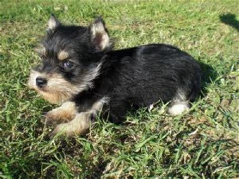 brown schnauzer puppies for sale miniature schnauzer puppies in oklahoma