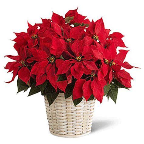 stelle di natale fiori consegna fiori a domicilio omaggi floreali vendita on line