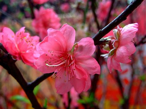 What Is The Alaska State Flower - delaware state flower peach blossom