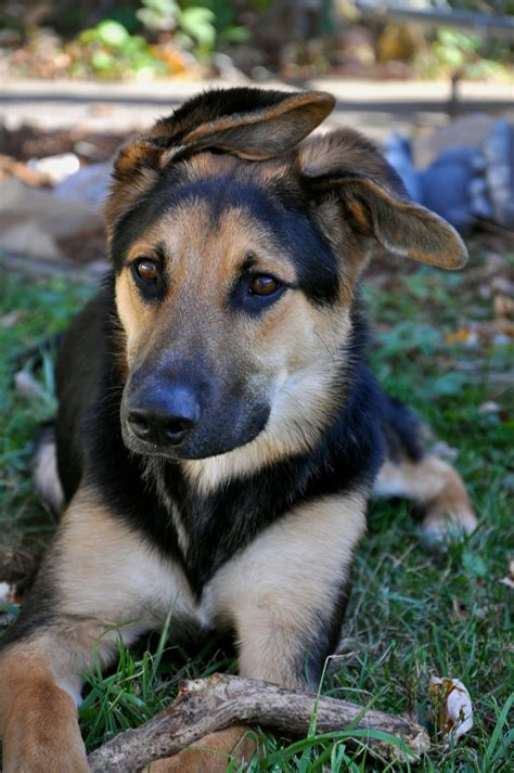 mixed german shepherd puppies casey the collie german shepherd mix puppies daily puppy m5x eu