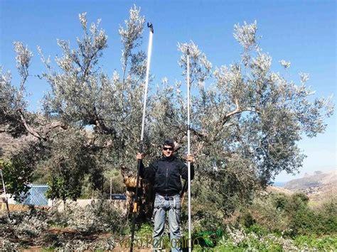 potatura a vaso sicilia e potatura olivo
