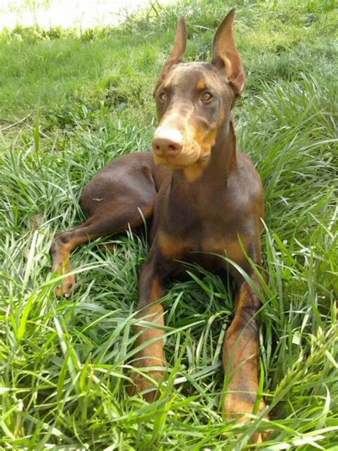 do doberman pinschers shed 28 images 101 breeds