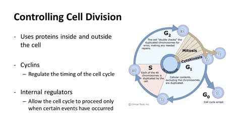 Section 10 3 Regulating The Cell Cycle by Section 10 3 Pg Regulating The Cell Cycle Ppt
