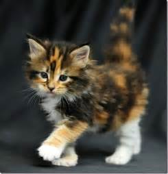 what makes a calico cat calico the big bons theory