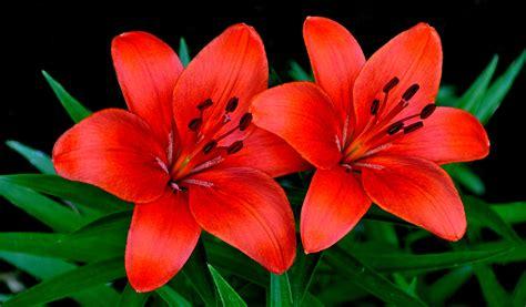 imagenes flores lirios l 237 rios conhe 231 a a flor que representa a pureza e a inoc 234 ncia