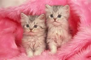 Download two kittens in pink blanket wallpaper free wallpapers