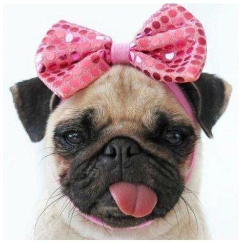 the pink pug pink bow pug pug