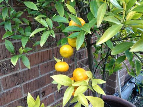 terriccio per limoni in vaso terriccio per agrumi giardinaggio terriccio piante
