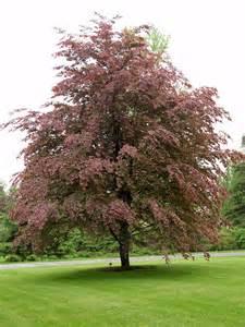 Botanical name fagus sylvatica roseo marginata