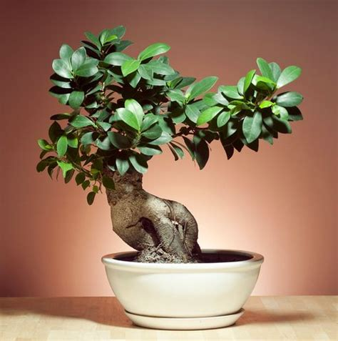 Bonsai Baum Arten by Different Types Of Indoor Bonsai Trees Different Types