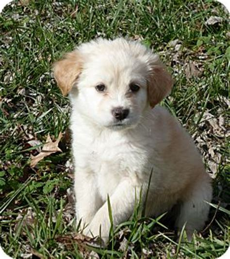 golden retriever cocker spaniel mix for sale pet not found