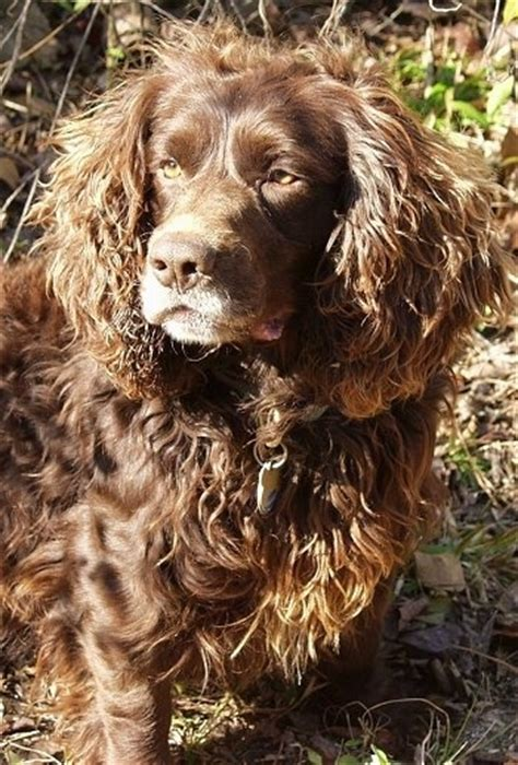 Boykin Spaniel Dog Breed Information and Pictures