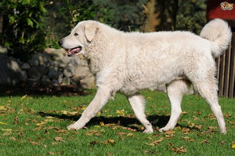 canine breed all about the hungarian kuvasz breed pets4homes
