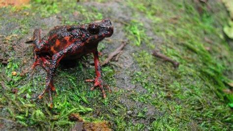 persebaran jenis katak  indonesia kumparancom