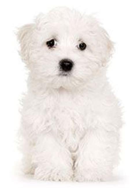 italian puppy names italian names for corsos neapolitan mastiffs or any breed