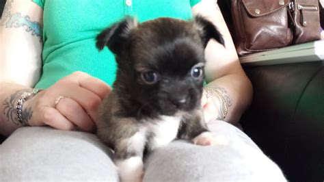 haired chihuahua puppies for sale in pa haired chihuahua for sale pa breeds picture