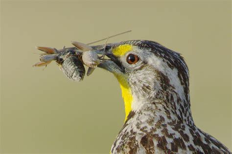 4 quick facts about the western meadowlark parks of