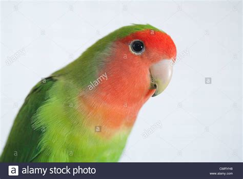 a closeup of a rosy faced lovebird against a white