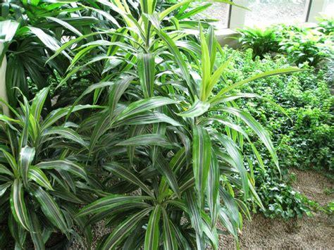 dracaena reflexa online plant guide dracaena reflexa song of jamaica