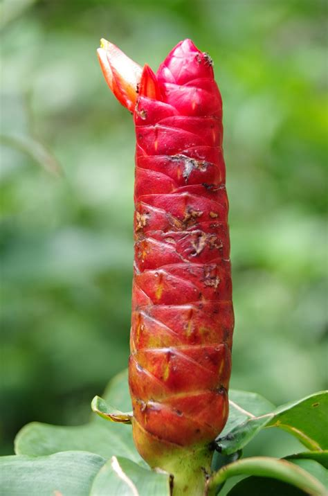 trees  plants costus woodsonii indian head ginger