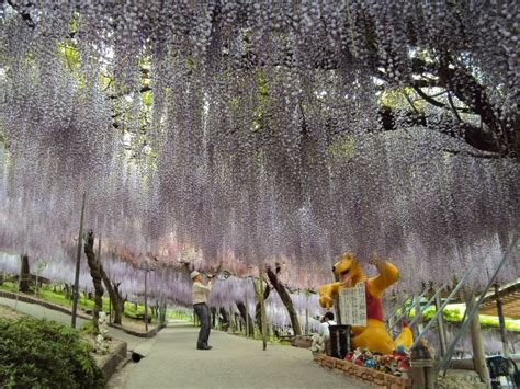 wisteria tunnel eyes catching place  japan travel