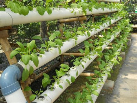 membuat sayuran hidroponik copas ampas tak ada lahan peratanian di kota paralon