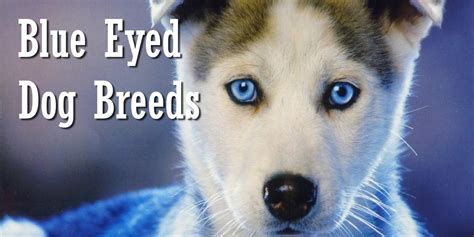 blue breeds blue eyed dogs www pixshark images galleries with a bite
