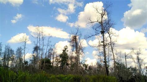 Pisau Hutan merananya kondisi hutan desa kalawa pasca kebakaran lahan