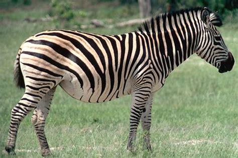 gambar zebra indonesiadalamtulisan terbaru 2014