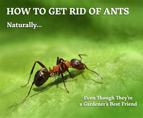 How To Get Rid Of Green Ants In Your Lawn Howsto Co