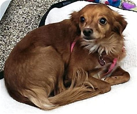 yorkie italian greyhound mix autumn adopted thousand oaks ca papillon italian greyhound mix