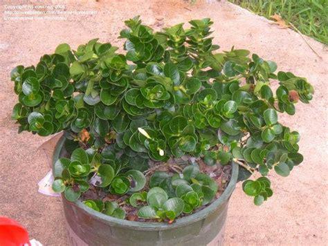 Bibit Buah Plum tanaman buah buahan tanaman buah natal plum