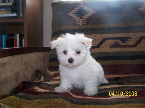 maltese in chinese martha s akc maltese chinese crested
